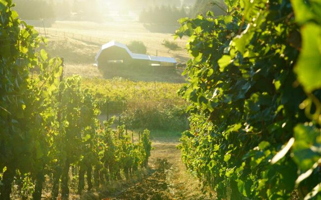 Roshni Vineyard McMinnville Oregon Vines and Barn