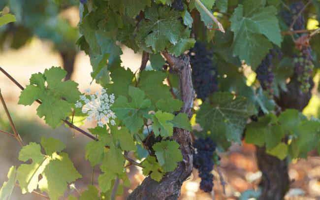 Roshni Vineyard McMinnville Oregon Grapes on Vine